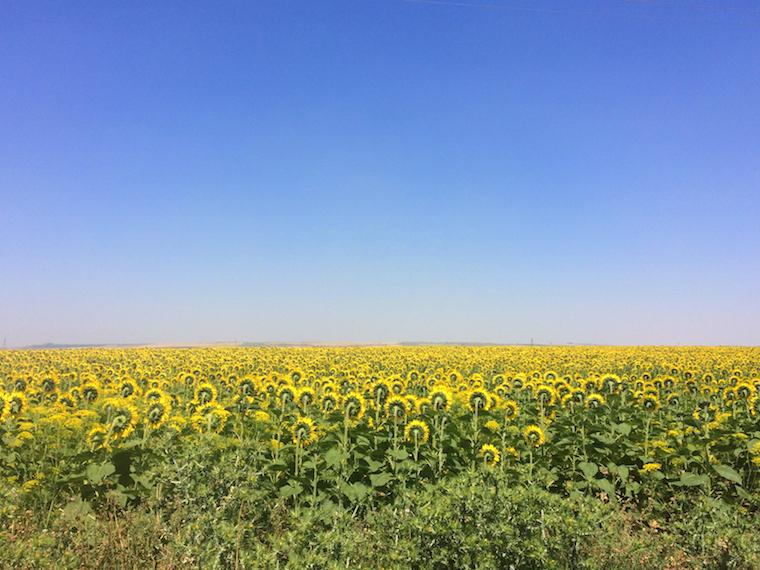 カルモナのひまわり畑