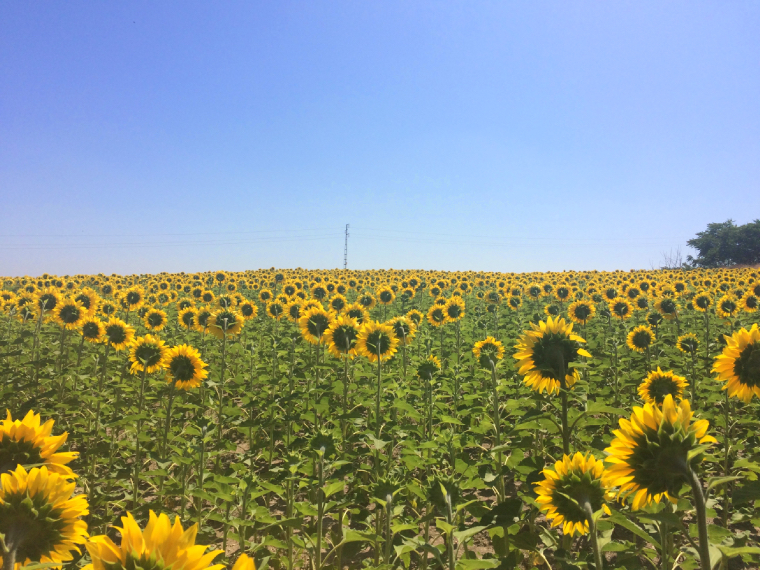 カルモナのA-380のひまわり畑