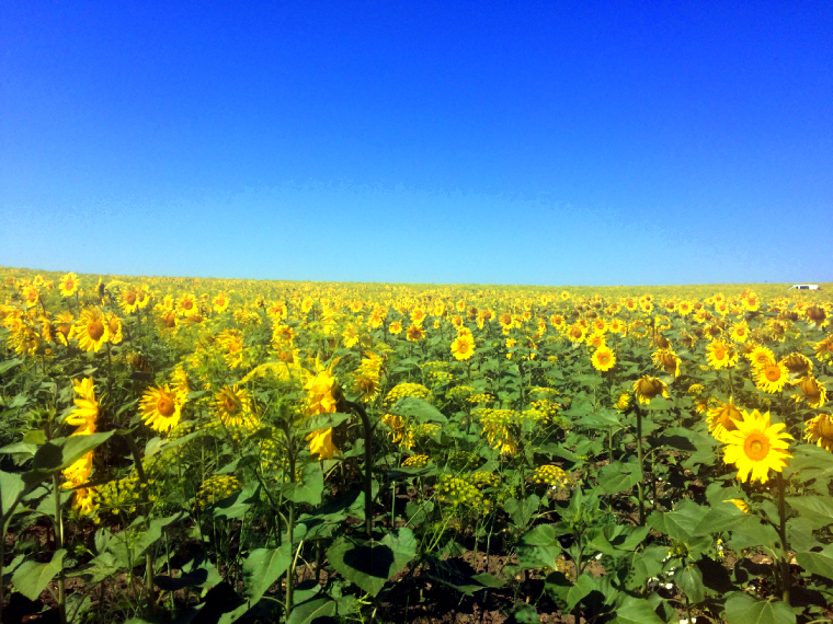 カルモナから徒歩で行けるひまわり畑