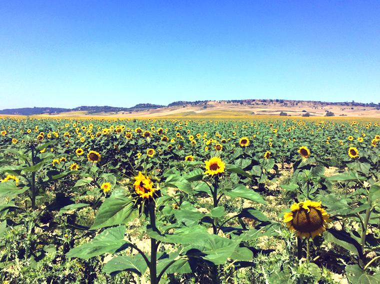 カルモナのSE-4108のひまわり畑