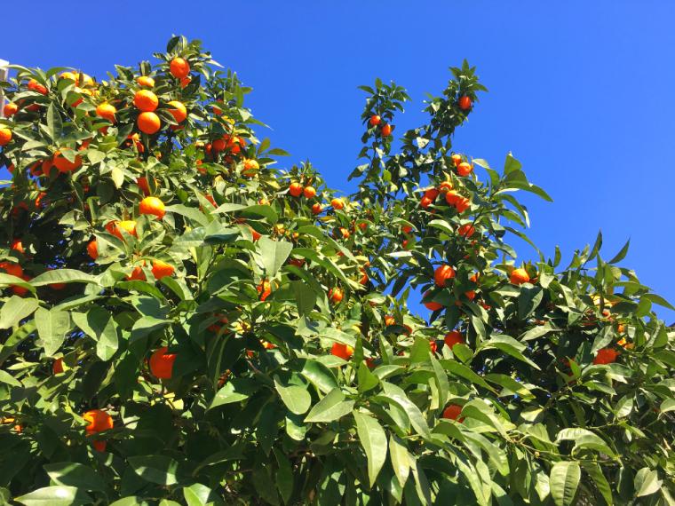 セビリアのオレンジの実と青空
