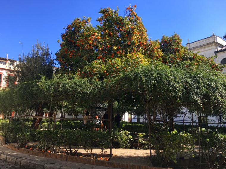 セビリアのサンタクルス広場のオレンジの実