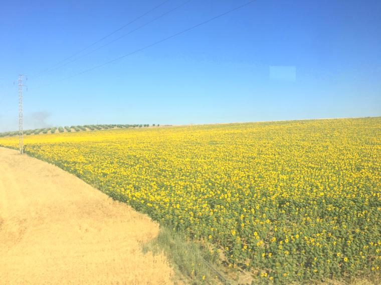 セビリアからバレンシアに向かう途中のコルドバ周辺で車窓から見たひまわり畑