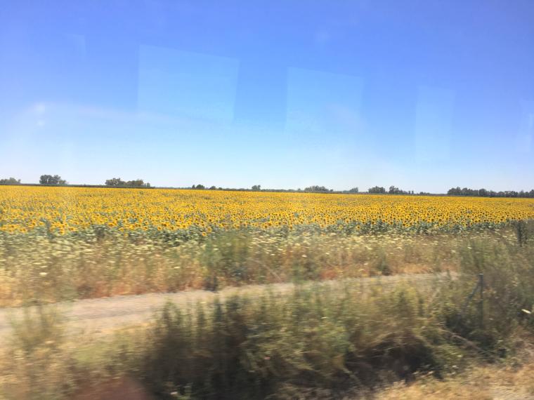 セビリア〜モロンに向かう道のひまわり畑